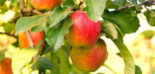 äpplen-röda