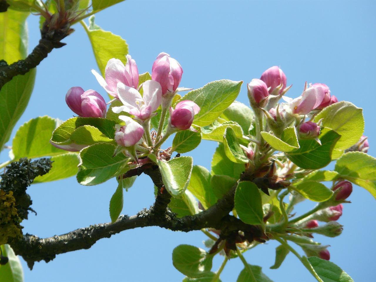 apple-blossom-6966_1280